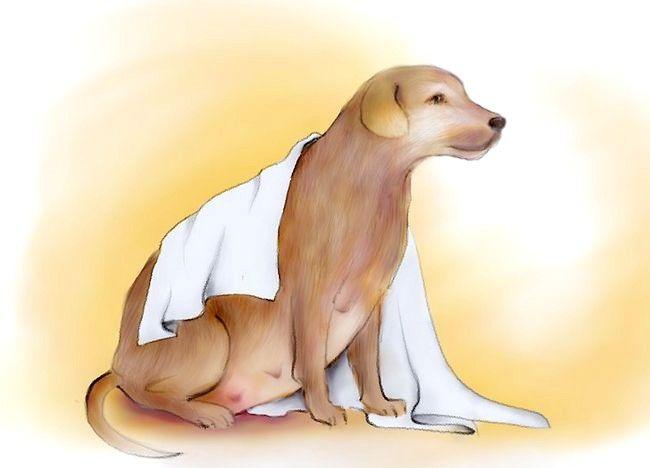 चित्रित किया गया बच्चा एक गर्भवती कुत्ता चरण 4