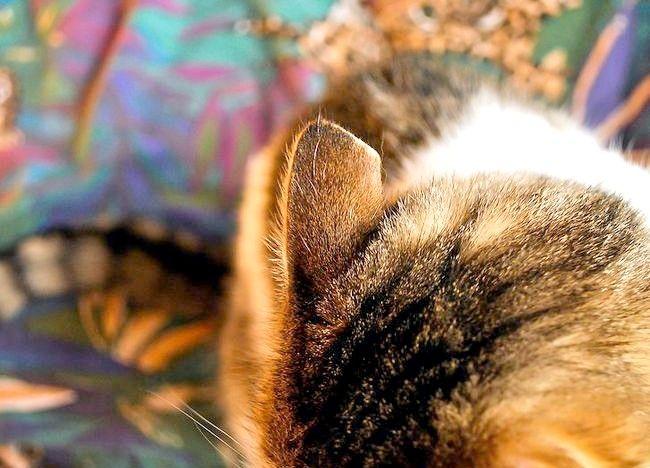 कैसे अपने बिल्ली की जाँच करने के लिए कान के कण है